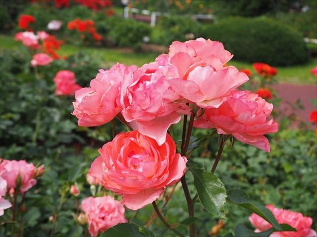 京都府立植物園のバラ