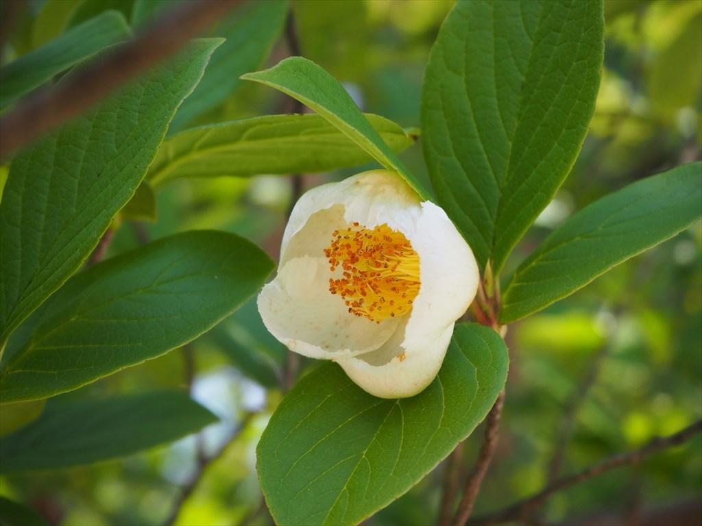 真如堂 沙羅の花(夏椿)