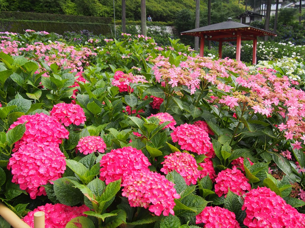 【現地】2万株のアジサイが咲き誇る三室戸寺と世界遺産・宇治上神社へ!