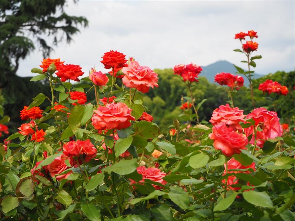 京都府立植物園のバラと花菖蒲