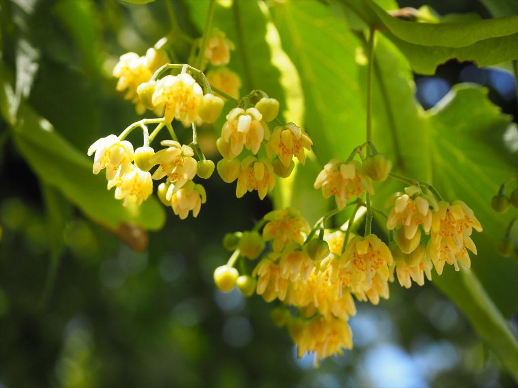 真如堂の菩提樹と沙羅の花