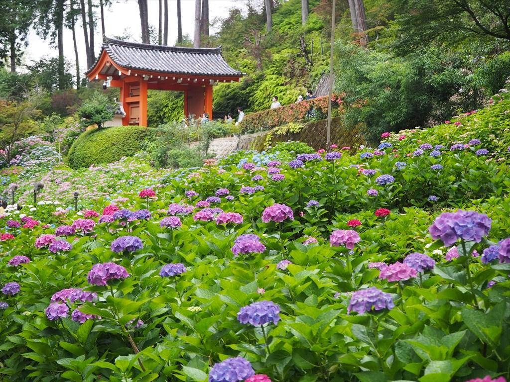 2万株のアジサイが咲き誇る三室戸寺