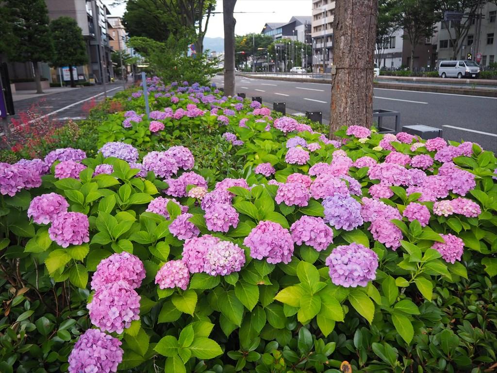 今年も綺麗に咲く御池通のアジサイ