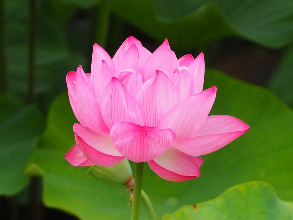 ハスの花が咲く天龍寺