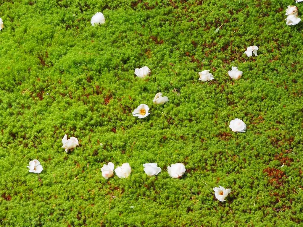 寂光院の沙羅の花