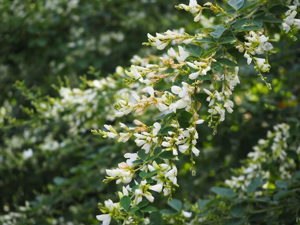 法住寺の萩の花